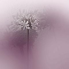 PURPLE (saokhue2007) Tags: manipulated viet mauve 333 reproduction purpleflower hoa purpleflowers flowerabstract lavanda goldensquare sanjoseca vn recomposition monocolor photoqueen pourpre thecolorpurple shadowandlight minimalismus tm almostmonochrome huesaturation extremebokeh sha