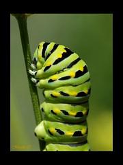 Vers vert (~Masala~) Tags: photoquebec lysdor