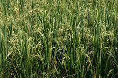 Rice paddies are an integral part of the landscape (Winam) Tags: bali 2007 sawah