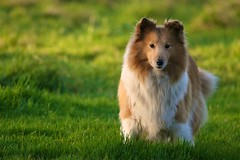 Nora (Barry McGrath) Tags: dog grass animal animals canon pose garden outdoors eos general sheltie january nora 2009 30d canonef70200mmf4lisusm barrymcg