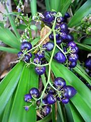 Dianella sandwicensis (D.Eickhoff) Tags: house plant fruits hawaii polynesia purple oahu lei hawaiian tapa dye hale thatching kapa liliaceae dianella ethnobotany hemerocallidaceae cordage purpleblue xanthorrhoeaceae sandwicensis hawaiianlily daylilyfamily dianellasandwicensis taxonomy:binomial=dianellasandwicensis ʻukiʻuki hawaiiandianella