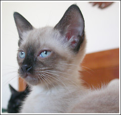 Lychee atenta - adoptada . adopted (selenis) Tags: pet baby portugal beautiful animal cat catwomen kitten feline sintra kitty siamese gato gata felino bebe siames adoption gatinho adopo gatinha cc100 kittenmagazine kissablekat petscommunity