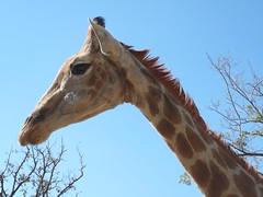 Giraffe (Lori-Ga!) Tags: southafrica giraffe lionpark
