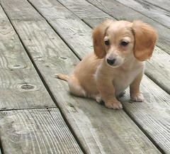 Honey (Doxieone) Tags: dog cute english puppy interestingness long cream dachshund explore honey final blonde exploreinterestingness hi miscellaneous haired pup1 mostpopular coll ggg 1002 longhaired final1 honeydog topfavorite explored englishcream impressedbeauty 124881 64932929 10003843008 honeyset