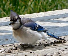 Blue Jay impersonating Doug Stanhope (Lollie Dot Com) Tags: bluejay fluffedupbluejay heswarningoffacardinalkid kidgotthehintandranp1300110ccrop dougstanhope bristlinmasculineenergy dougstanhopenotforthefaintofheart iflennybrucehasreincarnatedhisnameisdougstanhope bird lolliedotcompix