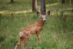 fawn at signal mountain (Melenie_M) Tags: vacation wildlife deer fawn wyoming grandtetonnationalpark signalmountain