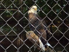 "Bald Eagle (rcvernors) Tags: bird animal geotagged zoo eagle wildlife baldeagle wv westvirginia birdofprey frenchcreek county"" rcvernors frenchcreekgamefarm ""upshur westvirginiastatewildlifecenter"