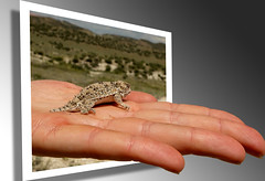 Here, have a hand... of Short-horned Lizard (Fort Photo) Tags: nature 3d nikon colorado hand d70 reptile wildlife lizard popup animalplanet 2007 larimer oob blueribbonwinner shorthorned shorthornedlizard ahelpinghand artlibre platinumphoto holidaysvacanzeurlaub phrynosomadouglassii outnaturereptilelizardshorthorned ahelpinghandoutofnature