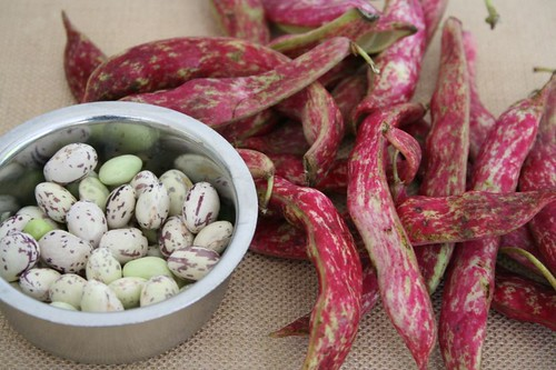Cranberry Beans: with pods