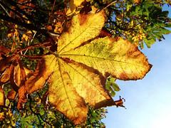 Leaf in Sunlight (torimages) Tags: park autumn golden leaf bedfordshire bluesky sd luton allrightsreserved wardown wardownpark donotusewithoutwrittenconsent copyrighttorimages