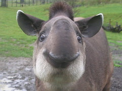 Brazilian Tapir at Longleat (skoop102) Tags: cute smile nose zoo funny ears safari ugly trunk brazilian longleat snout tapir safaripark longleatsafaripark tapirs