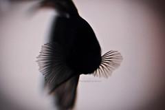 Underwater silhouette (Bruno R.B S.) Tags: fish macro water silhouette lens nikon underwater under sigma siamese beta 28 silueta 105mm d40