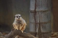 Zoo animals are ambassadors for their cousins in the wild.  ~Jack Hanna~ (KFrench Photography) Tags: cute animal zoo meerkat sweet habitat sanjoseca furryanimal cagedanimal happyhollowzoo zoohabitat olympuse600