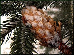 preparing for Christmas (withrow) Tags: winter snow canada alberta sprucecone