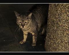 Bristled Pussy (retroSPecktive) Tags: animal cat singapore olympus ep2