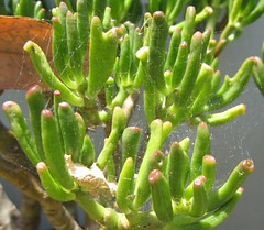 Gollum Jade Plant
