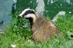 Toby the Badger (There and back again) Tags: wildlife sigma animalkingdomelite sd14 unature