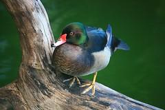 Fowl Shot (laszlo-photo) Tags: kowloon hongkong rosebill duck kowloonpark animalkingdomelite naturesfinest hybrid