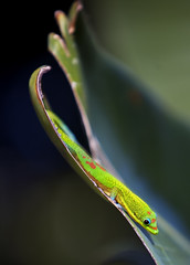 Slip Sliding Away (Bill Adams) Tags: hawaii quality lizard explore superfantastique bigisland kailuakona naturesfinest youtube supershot canonef70200mmf28lisusm madagascardaygecko abigfave youtubr slipslidingaway