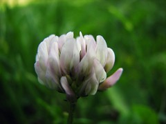 Clower Flover (trondjs) Tags: pink summer white flower macro green grass norway closeup canon dof bokeh lawn clover supermacro asker s3is trondjs