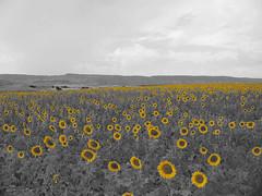 io sono il sole (quandocammini) Tags: yellow giallo campo a3 vangogh girasole spagna n400 e901 madridcuenca