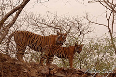 Machali with her cub (dickysingh) Tags: wild india nature outdoor wildlife bigcat aditya tigers predator ranthambore singh ranthambhore dicky wildtiger bengaltigers ranthambhorebagh bfgreatesthits adityasingh dickysingh ranthamborebagh theranthambhorebagh tigerandcub