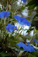 Umbrellas (bethechange21) Tags: flowers blue garden explore morningglories mariemont isawyoufirst