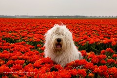 a flower a day, makes you happy all day... (dewollewei) Tags: old english spring sheepdog bulbs noordoostpolder bobtail pictureperfect oes oldenglishsheepdog sheepdogs oldenglishsheepdogs theworldwelivein aplaceforportraits impressedbeauty sweetexpressions bollenroute platinumheartaward dewollewei