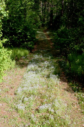 forget-me-not path