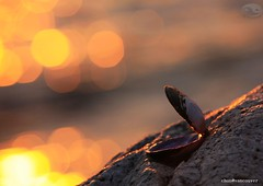 A clam open for light (Chun@Vancouver) Tags: light sunset beach bokeh clam canondslr kitsilanobeach vancouverbccanada eos5dmarkii