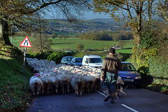 Sheep Jam (rosyrosie2009) Tags: uk england photography countryside flickr traffic sheep photos farming explore trafficjam hdr totnes photomatix tonemapped nikkor1855mm explored devonandcornwall d5000 rosiesphotos nikkor1855mmf3556gvr nikond5000 rosiespooner rosyrosie2009 rosemaryspooner rosiespoonerphotography