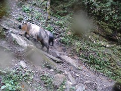 Takin (eMammal) Tags: takin wolong budorcastaxicolor geo:lon=30873 taxonomy:common=takin sequence:index=1 sequence:length=1 otherhoovedmammals taxonomy:group=otherhoovedmammals siwild:study=wolongcameratrapsurvey siwild:studyId=wolongbaitedsets geo:locality=china siwild:plot=wolong siwild:location=lwwl08811a siwild:camDeploy=chinadeploy194 geo:lat=103173 siwild:date=200809281354000 siwild:trigger=wwl08811a01154 siwild:imageid=wwl08811a01154 sequence:id=wwl08811a01154 file:name=wwl08811a01154jpg taxonomy:species=budorcastaxicolor sequence:key=1 file:path=dchinachinacameraimagedigitalafter2008wolongnaturereservewwl08811a01wwl08811a01154jpg siwild:region=china BR:batch=sla0620101119044543 siwild:species=12