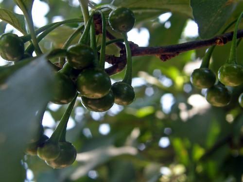 frutitos verdes