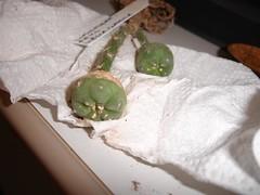 Lophophora Fricci, Viesca (jarekcactus) Tags: cacti graft lophophora viesca pereskoipsis fricci cactodiarioblogspotcom