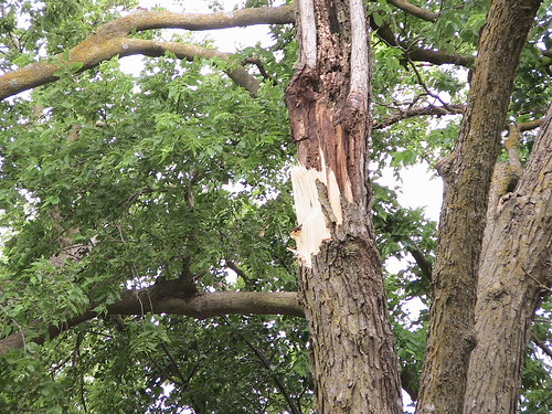 Esses' Tree