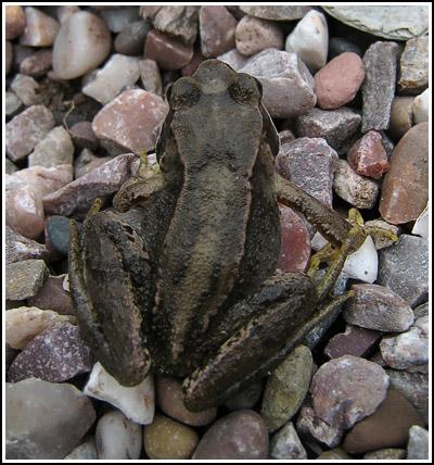 Froggie 2 copy