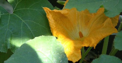 pumpkin fllower