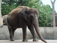 Wilhelma Elefant