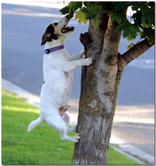 Dogs can climb trees! (Carplips) Tags: dog climb jump jrt jackrussell hyper determined amos possessed driven energetic
