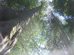 DSC06819.JPG (Mark Edmondson) Tags: whistler ancient cedars