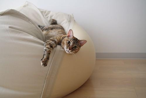 ずうっと気になっていた「体にフィットするソファ」。とうとう意を決して買っちゃいました。あまりの巨大さにねこちゃんたちもびっくり。最初に興味を示したのがきん  ...