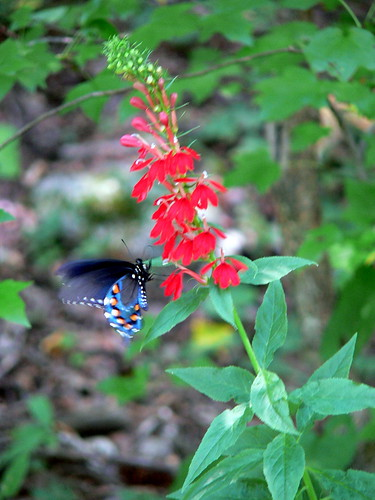 eastern black swallowtail on cardinal flower