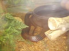 indigo snake 5 (saidg22) Tags: harmless longest colubrid