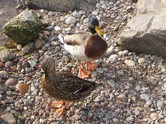 Pair of Mallards (Queenbie) Tags: sea beach aberdeenshire ducks mallard stonehaven