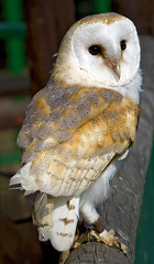 Barn Owl or Tyto Alba (f0rbe5) Tags: park uk bird barn paradise nocturnal wildlife hunting scream owl rodents hertfordshire barnowl 2007 predators hiss tytoalba wildlifepark broxbourne paradisewildlifepark churchowl goldenowl heartshapedface 25faves ghostowl stoneowl monkeyfacedowl ratowl