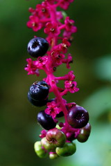pink ilovenature berries inkberry