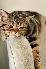 Sigh (Tabbie-cats) Tags: family pet brown classic beautiful animal cat canon wow gold eyes chair kitten chat pretty emotion stripes gorgeous americanshorthair tabby tiger sleepy gato tired registered relaxed annoyed mywinners abigfave kissablekat bestofcats impressedbeauty ultimateshot tunafished ameliabreeann