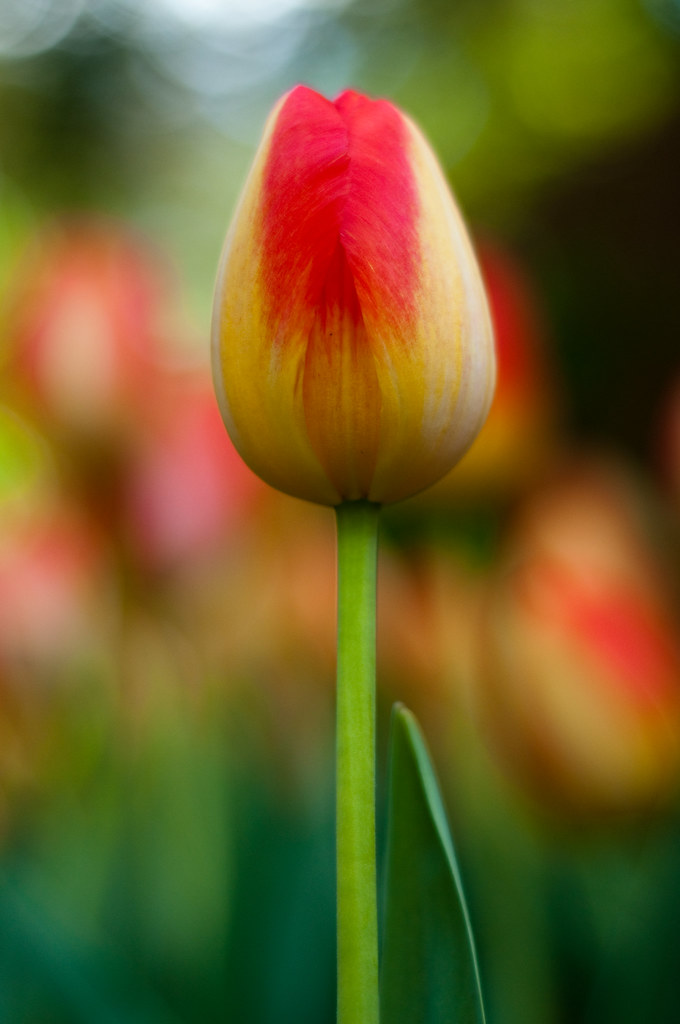single red and yellow tulip