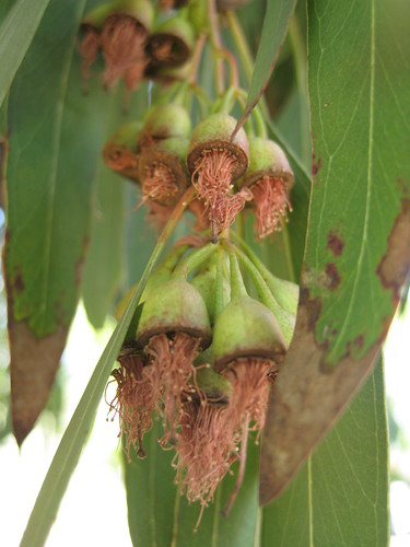 Eucalyptus pods with dead blooms blooms