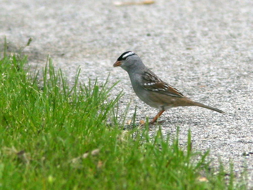 White-crowned Sparrow 20100515